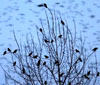 image of sky and trees full of crows
